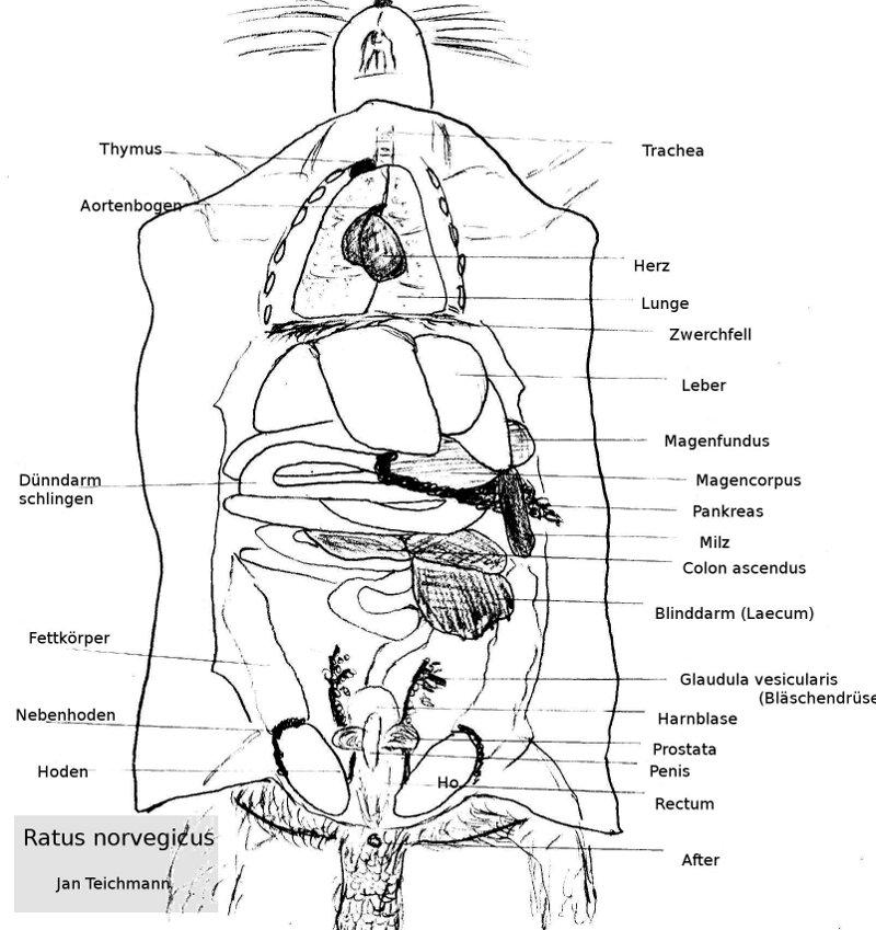 Niedlich äußere Anatomie Einer Ratte Fotos - Anatomie Ideen ...